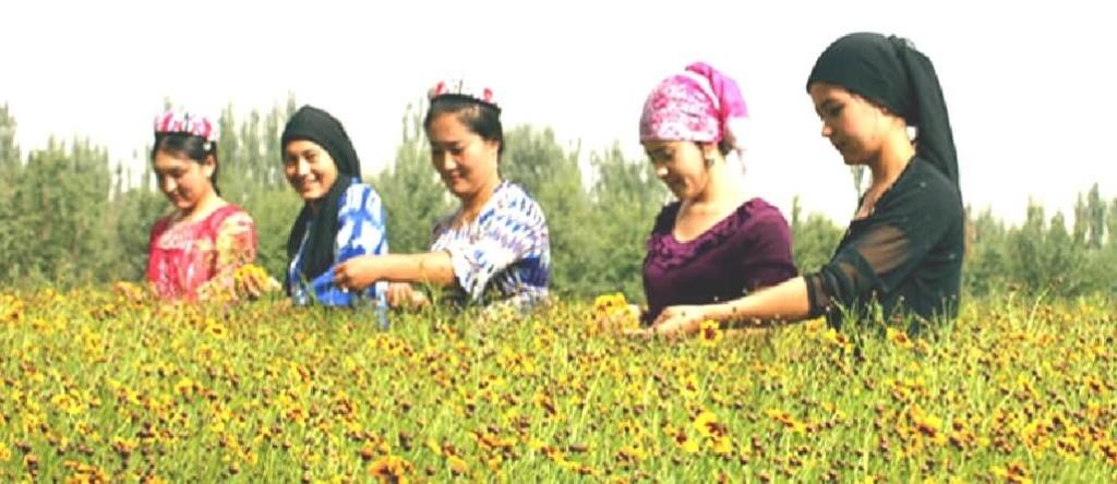 雪菊茶を収穫する女性たち